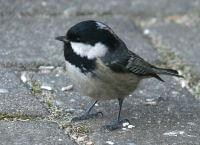schwarz weißer vogel mit rotem schnabel